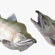 Pink Salmon Rigged for Maya. Preview 6