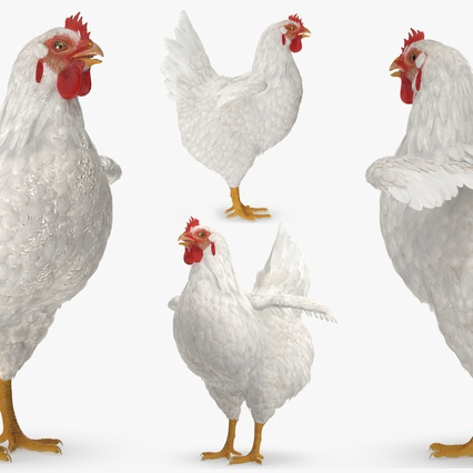 White Chicken. Render 5
