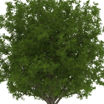 White Oak Tree Summer. Render 15