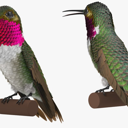 Broad Tailed Hummingbird Sitting on Branch. Render 7