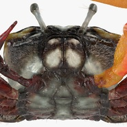 Fiddler Crab with Fur. Preview 13
