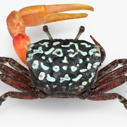 Fiddler Crab with Fur. Preview 2