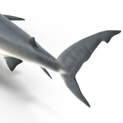 Caribbean Reef Shark. Render 29