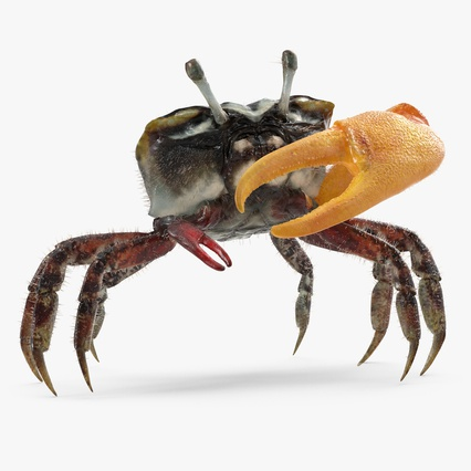 Fiddler Crab Standing Pose with Fur. Render 1