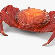 Red Rock Crab Rigged for Maya. Preview 16