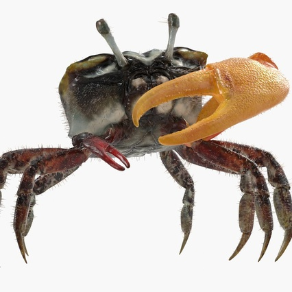 Fiddler Crab Standing Pose with Fur. Render 3