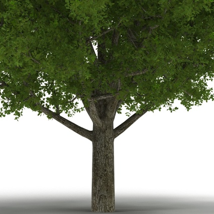 White Oak Tree Summer. Render 11
