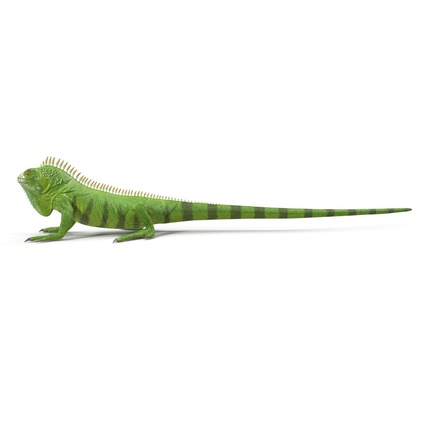 Green Iguana Rigged for Cinema 4D. Render 8