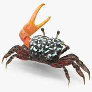 Fiddler Crab Fighting Pose with Fur