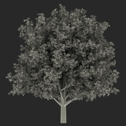 White Oak Tree Summer. Render 24