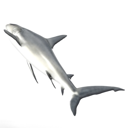 Caribbean Reef Shark. Render 15