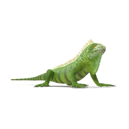 Green Iguana Rigged for Cinema 4D. Render 13