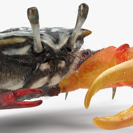 Fiddler Crab with Fur. Render 7