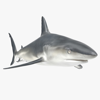 Caribbean Reef Shark. Render 1