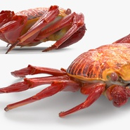 Red Rock Crab Rigged for Maya. Preview 12