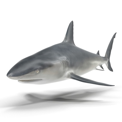 Caribbean Reef Shark. Render 22