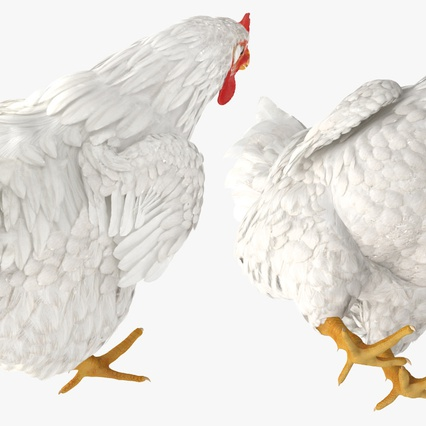 White Chicken Eating Pose. Render 10