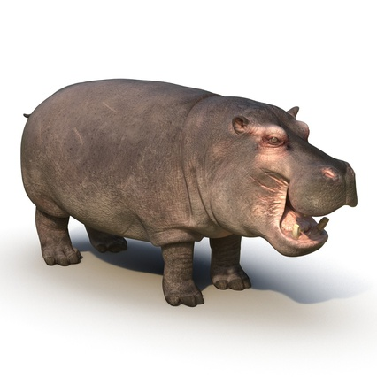 Hippopotamus Rigged for Cinema 4D. Render 5
