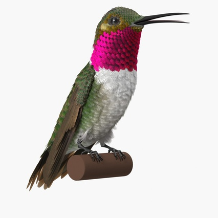 Broad Tailed Hummingbird Sitting on Branch. Render 3