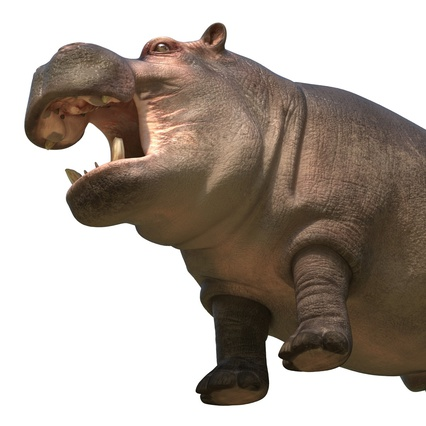 Hippopotamus Rigged for Cinema 4D. Render 20