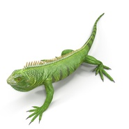 Green Iguana Rigged for Cinema 4D. Preview 7