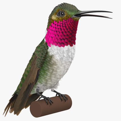 Broad Tailed Hummingbird Sitting on Branch. Render 2