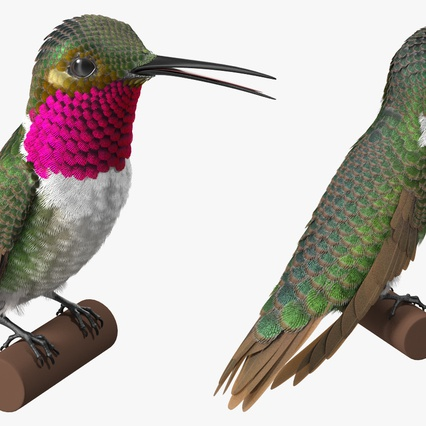 Broad Tailed Hummingbird Sitting on Branch. Render 6