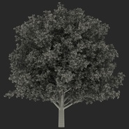 White Oak Tree Summer. Preview 20