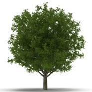 White Oak Tree Summer. Preview 7
