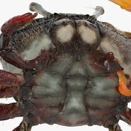 Fiddler Crab Standing Pose with Fur. Preview 12