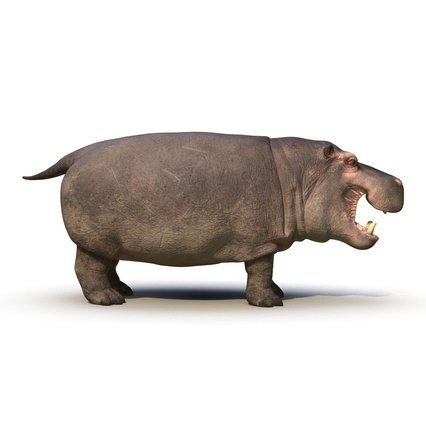 Hippopotamus Rigged for Cinema 4D. Render 9