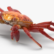 Red Rock Crab Rigged for Maya. Preview 7