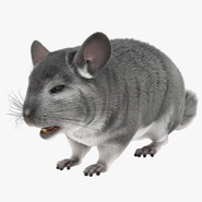 Chinchilla with Fur