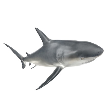 Caribbean Reef Shark. Render 13