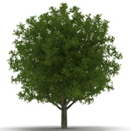 White Oak Tree Summer. Preview 5
