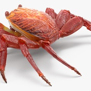 Red Rock Crab Rigged for Maya. Preview 8