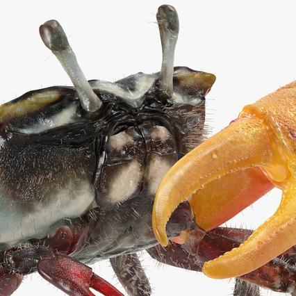 Fiddler Crab Standing Pose with Fur. Render 7