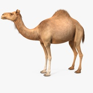 Camel Standing Pose. Preview 3