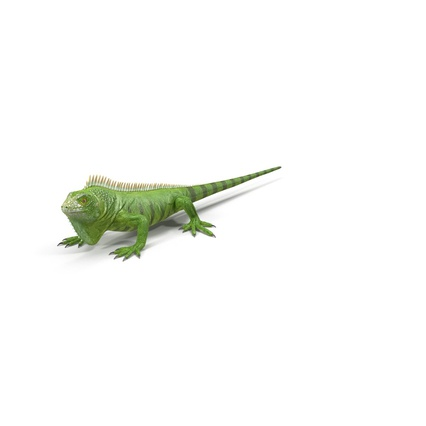 Green Iguana Rigged for Cinema 4D. Render 2