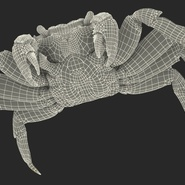 Red Rock Crab Rigged for Maya. Preview 32