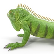 Green Iguana Rigged for Cinema 4D. Preview 22