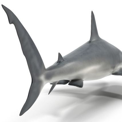 Caribbean Reef Shark. Render 30