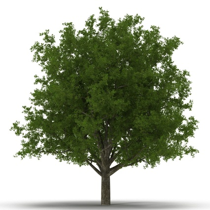 White Oak Tree Summer. Render 8