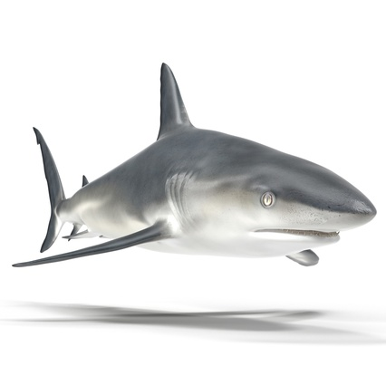 Caribbean Reef Shark. Render 2