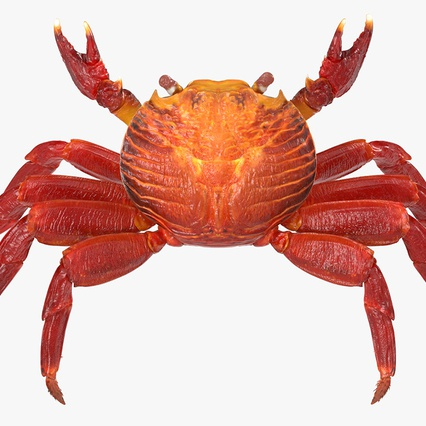 Red Rock Crab Rigged for Maya. Render 5