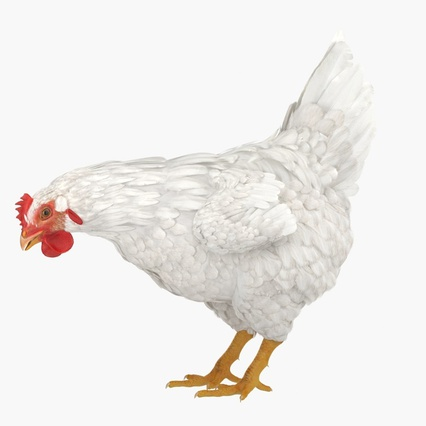 White Chicken Eating Pose. Render 3