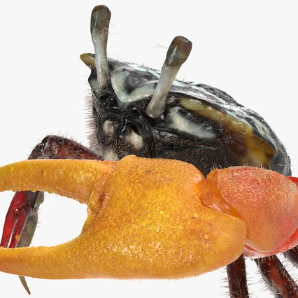 Fiddler Crab Standing Pose with Fur. Render 9