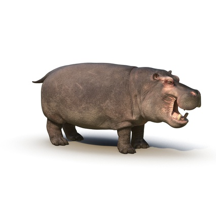 Hippopotamus Rigged for Cinema 4D. Render 2