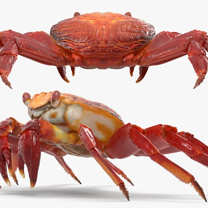 Red Rock Crab Rigged for Maya. Render 15
