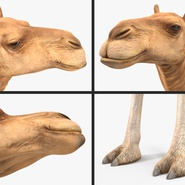 Camel Rigged for Cinema 4D. Preview 19